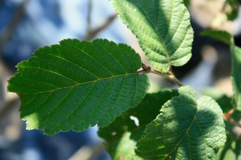 Alnus rugosa - Speckled Alder