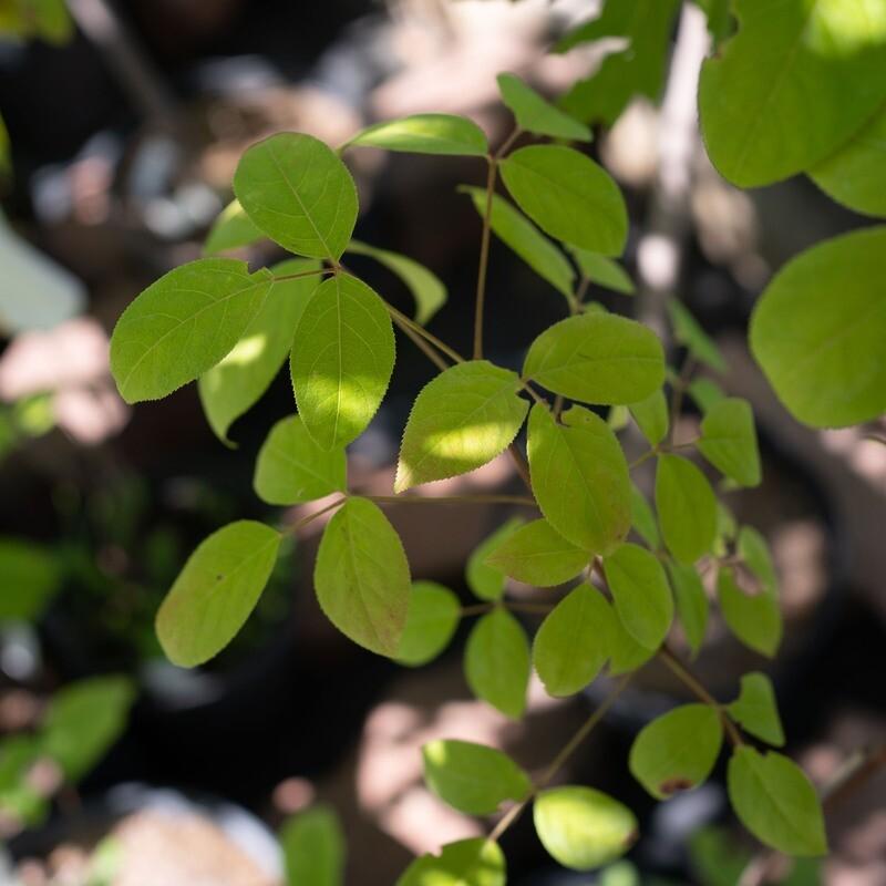Staphylea trifolia - Bladdernut