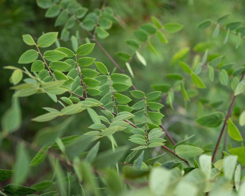 Gymnocladus dioicus - Kentucky Coffeetree
