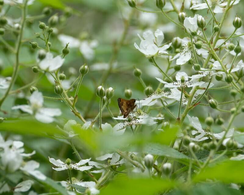 Rubus flagellaris - Northern Dewberry