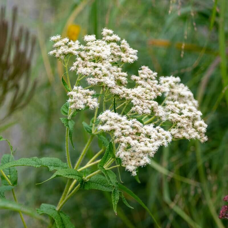 Eupatorium perfoliatum - Common Boneset