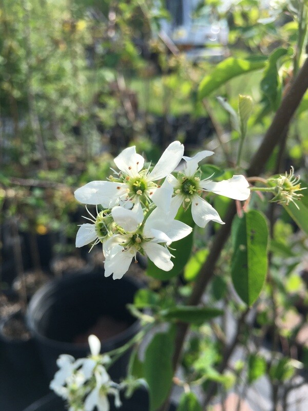 Amelanchier sanguinea - Roundleaf Serviceberry