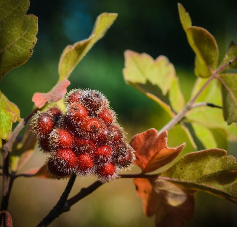 Rhus aromatica - Fragrant Sumac