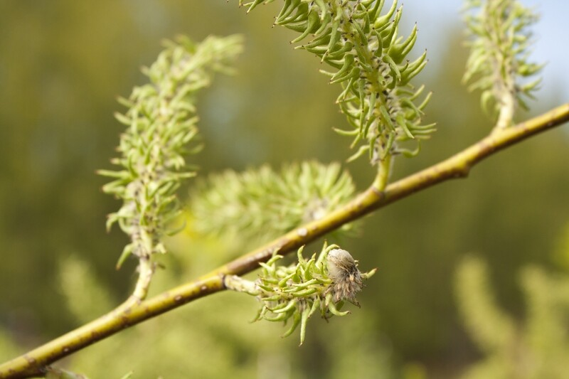 Salix discolor - Pussy Willow
