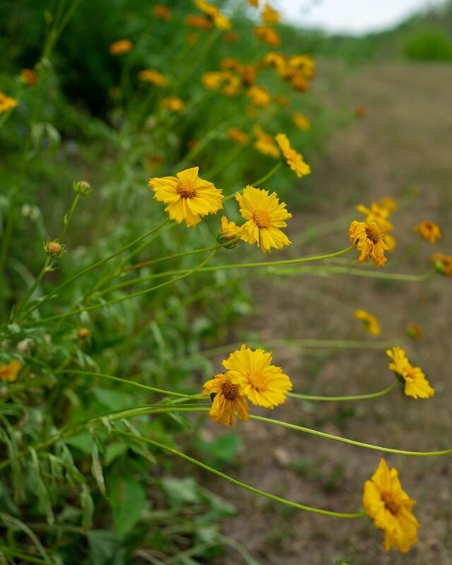 Coreopsis lanceolata - Lance-leaved Coreopsis