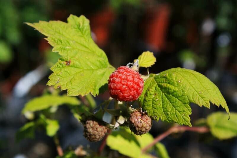 Rubus idaeus - Wild Red Raspberry
