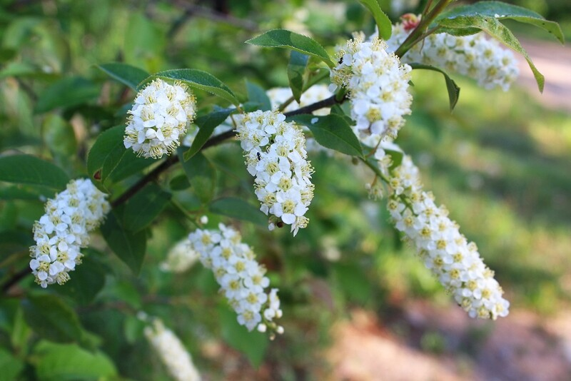 Prunus virginiana - Chokecherry
