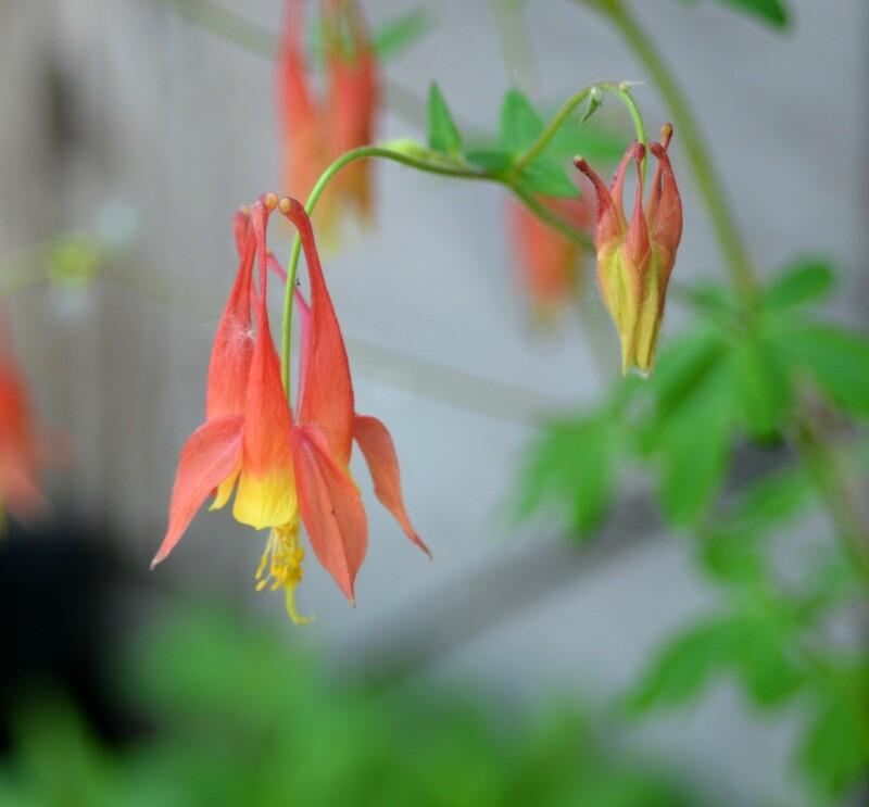 Aquilegia canadensis - Wild Columbine