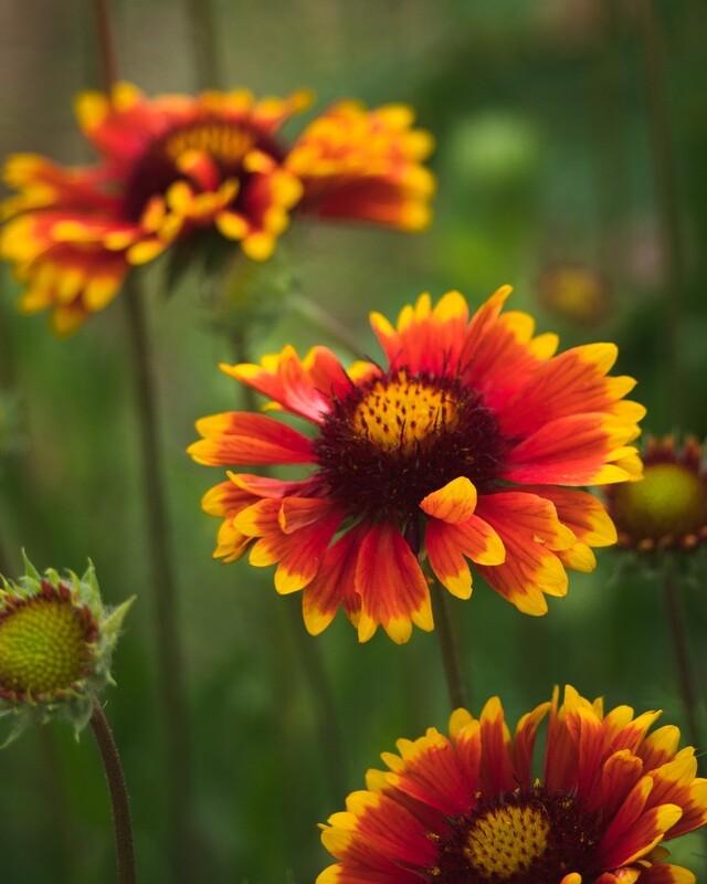Gaillardia aristata - Blanketflower