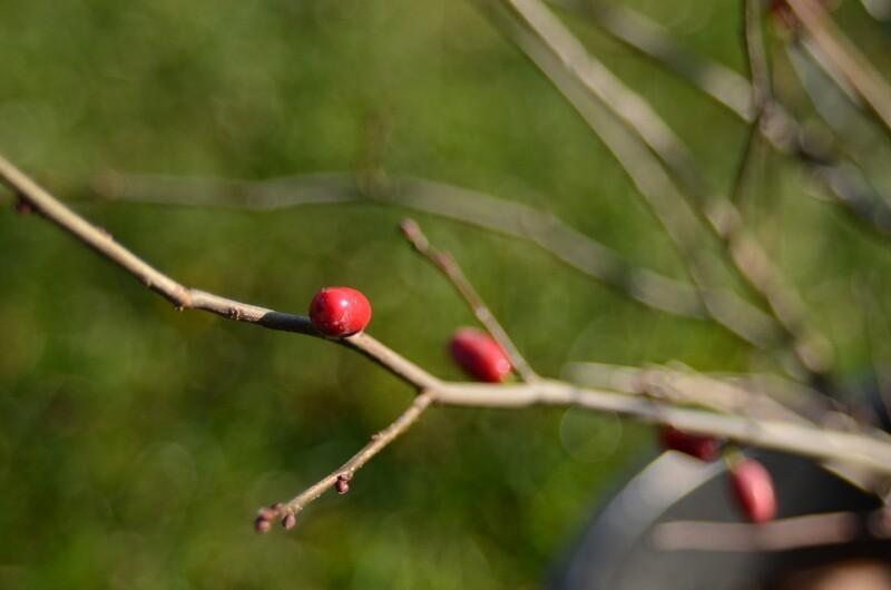 Lindera benzoin - Spicebush