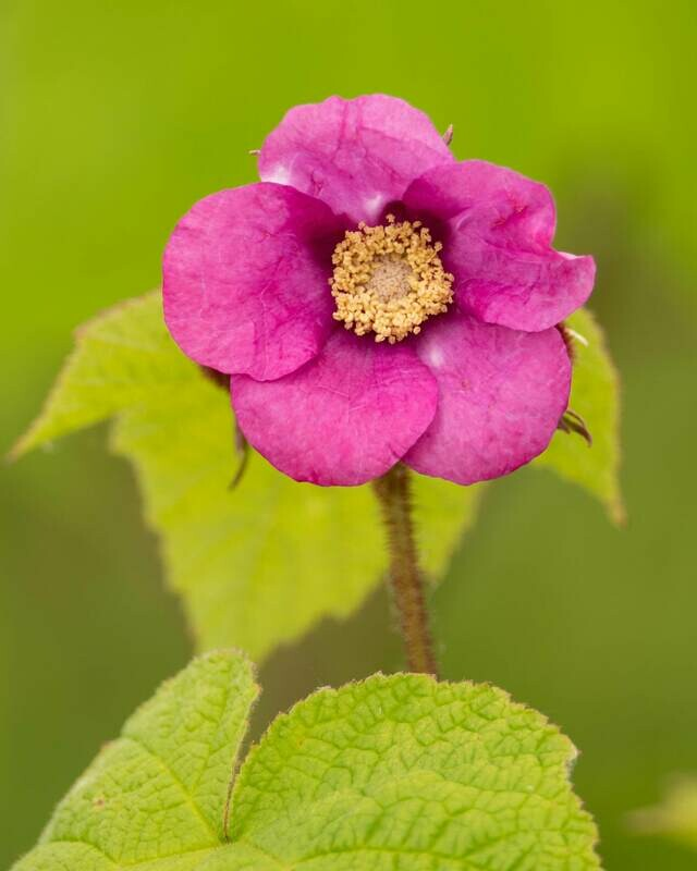Rubus odoratus - Flowering Raspberry