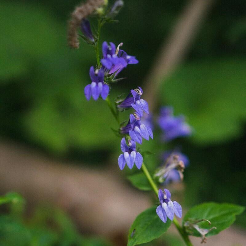 Lobelia siphilitica - Great Blue Lobelia