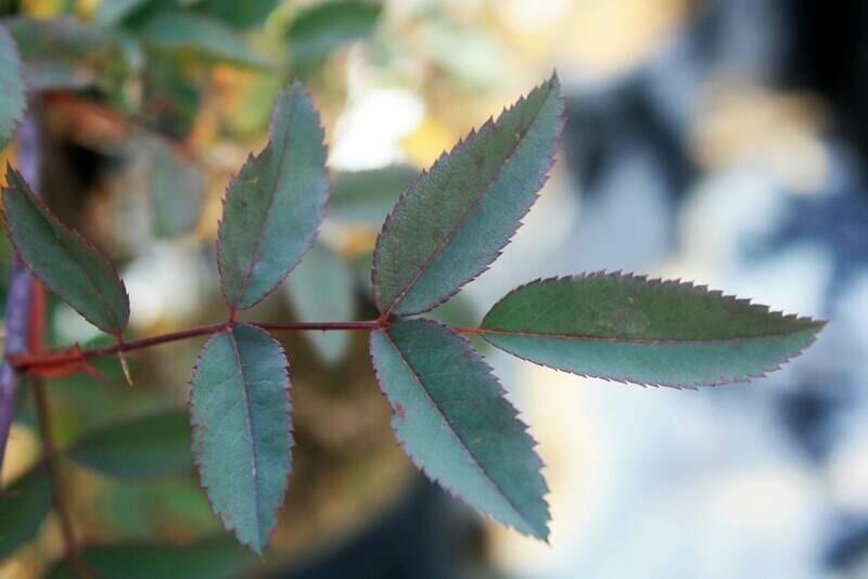 Rosa setigera - Prairie Rose