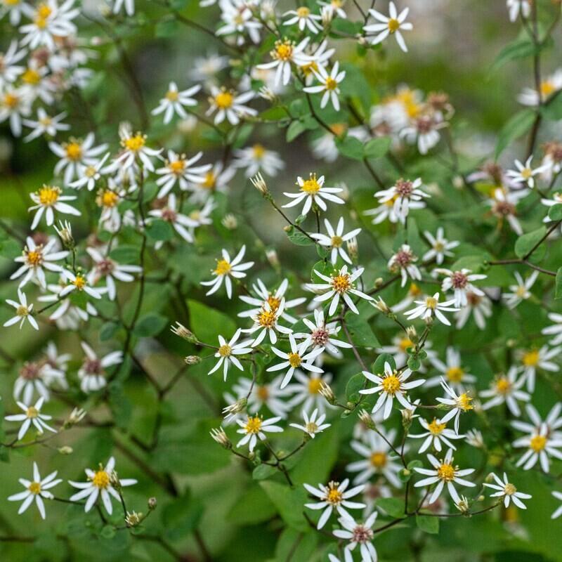Eurybia divaricata - White Wood Aster