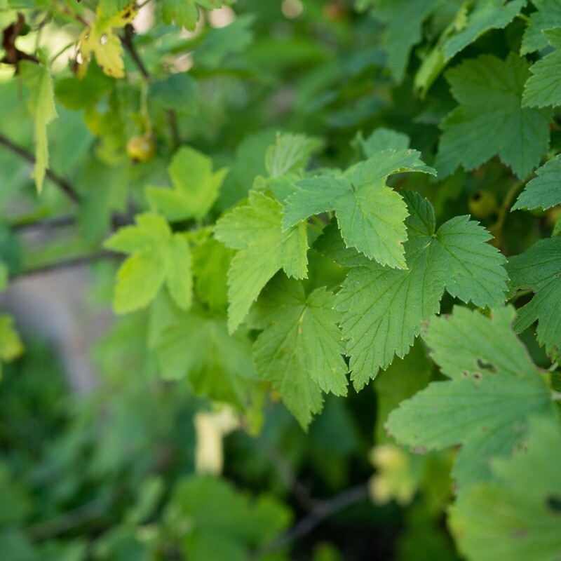 Ribes americanum - Wild Black Currant
