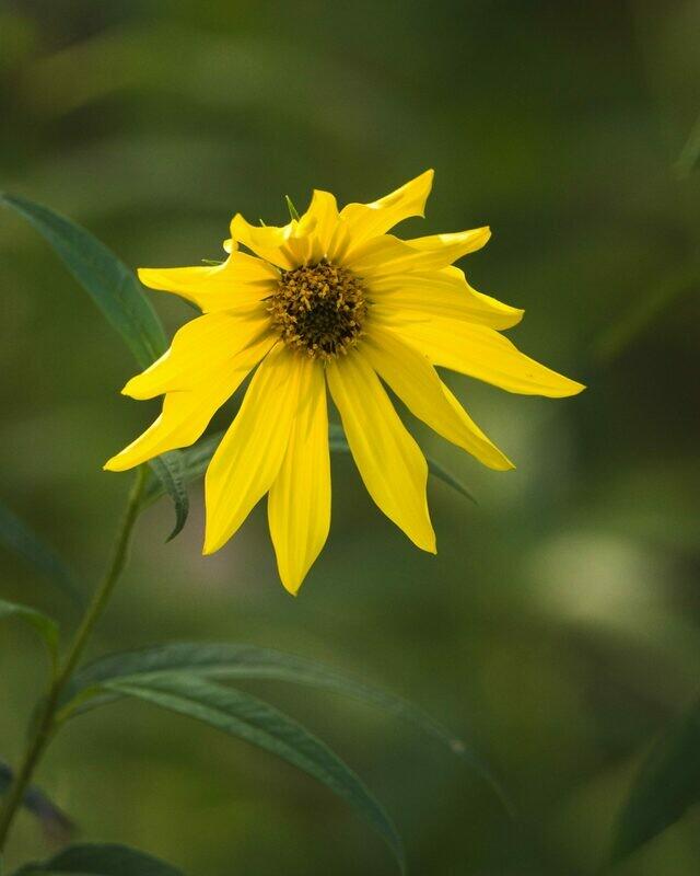 Helianthus divaricatus - Woodland Sunflower