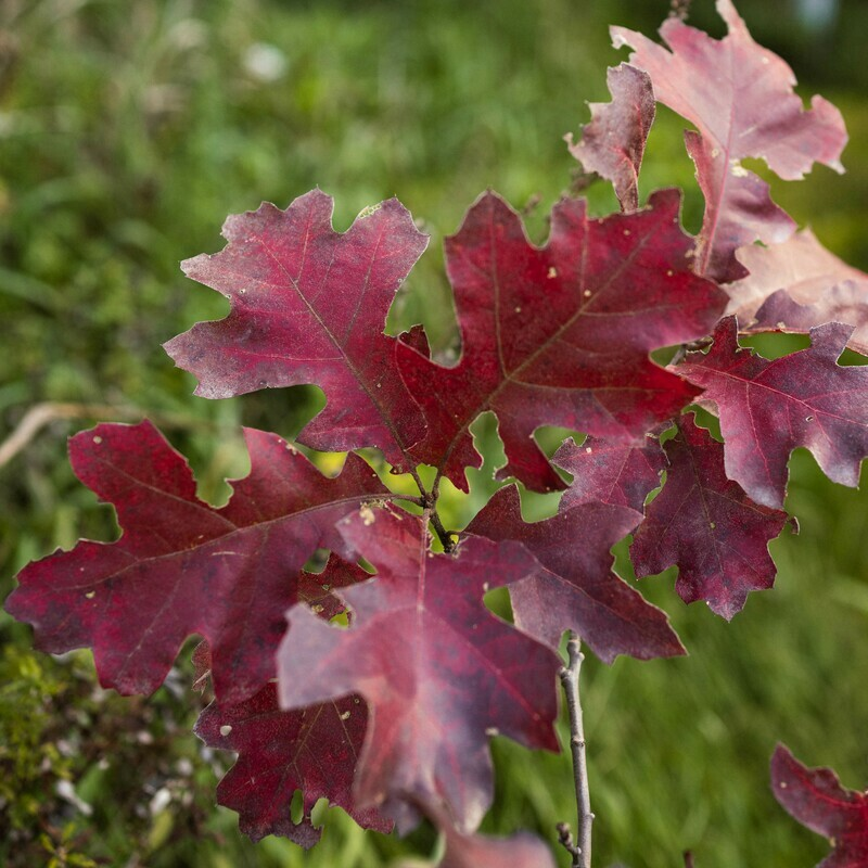 Quercus velutina - Black Oak