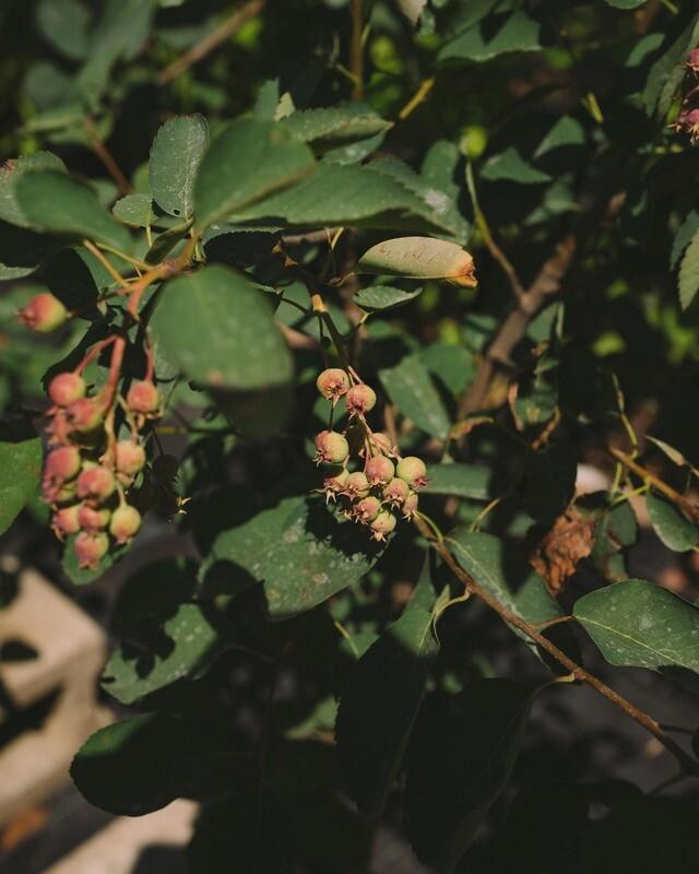 Amelanchier alnifolia - Saskatoon Serviceberry