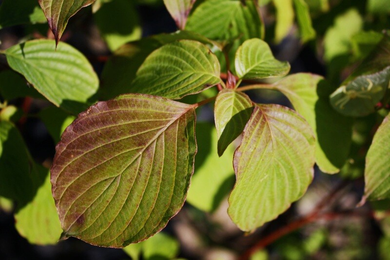 Cornus alternifolia - Alternate-leaved Dogwood