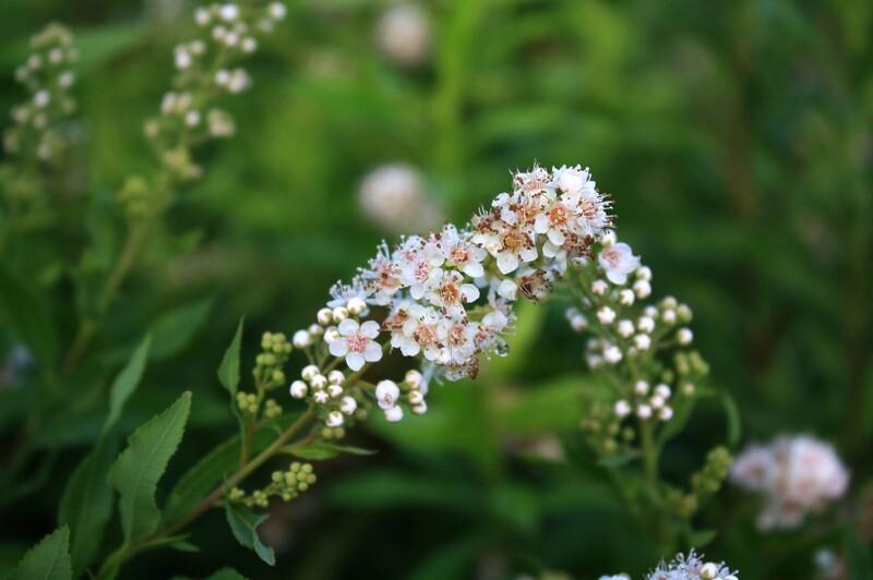 Spiraea alba - Meadowsweet