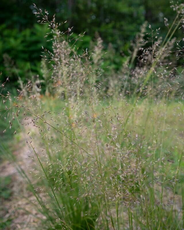 Sporobolus heterolepsis - Prairie Dropseed