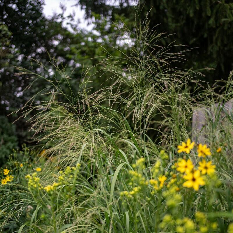 Panicum virgatum - Switchgrass