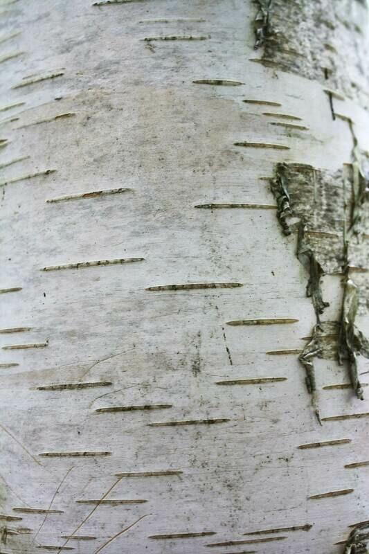 Betula papyrifera - Paper Birch