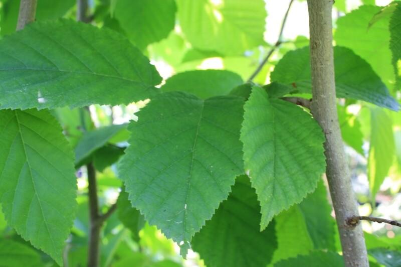 Corylus americana - American Hazel