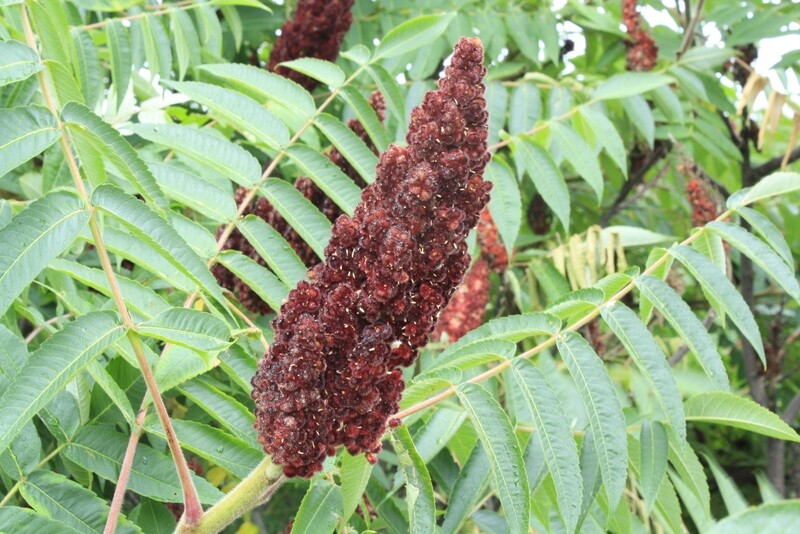 Rhus typhina - Staghorn Sumac