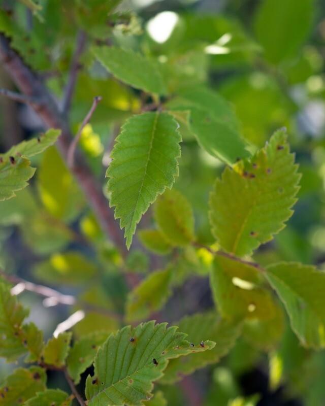 Ulmus americana - American Elm