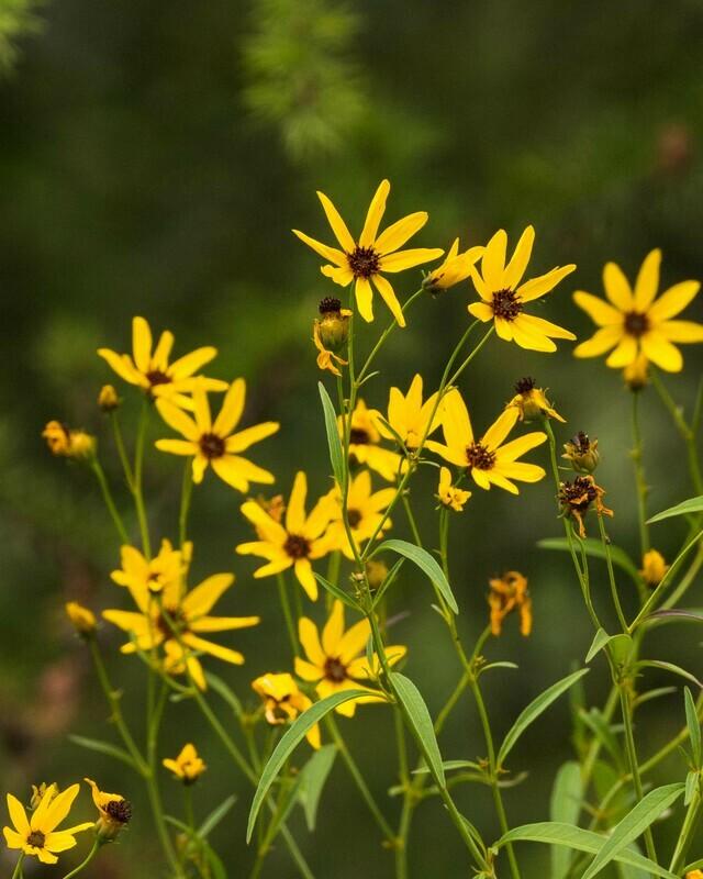 Coreopsis tripteris - Tall Coreopsis