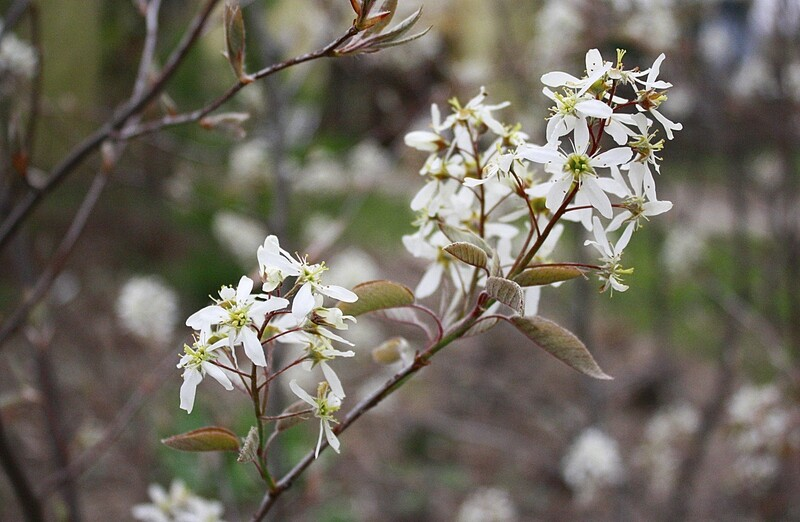 Amelanchier canadensis - Common Serviceberry