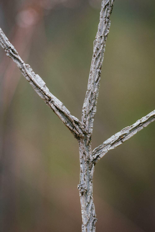 Ulmus thomasii - Rock Elm