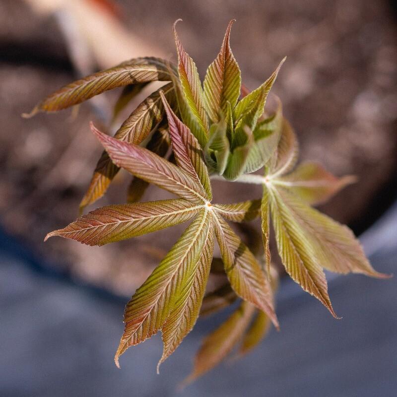 Aesculus glabra - Ohio Buckeye
