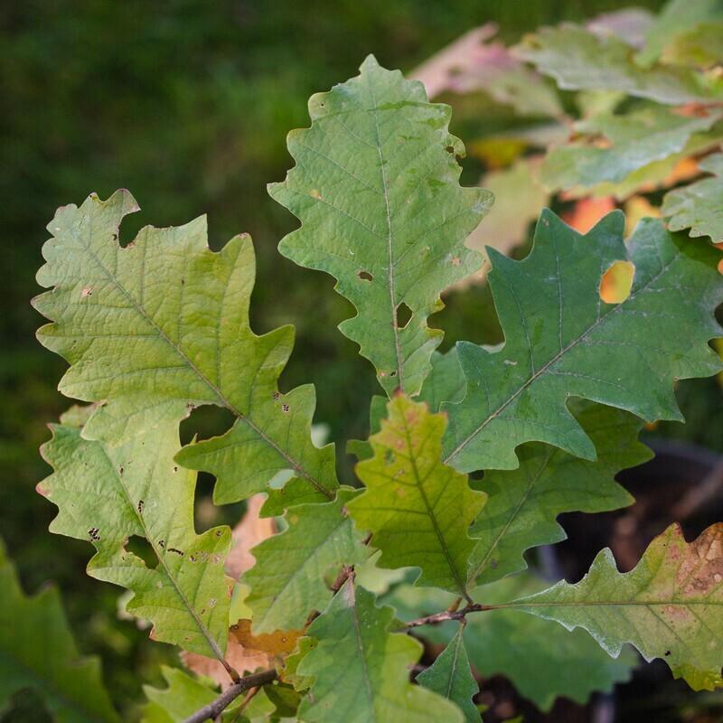 Quercus macropcarpa - Bur Oak