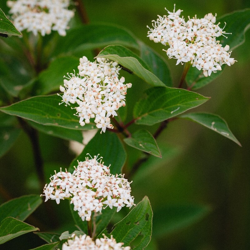 Cornus sericea - Red Osier Dogwood