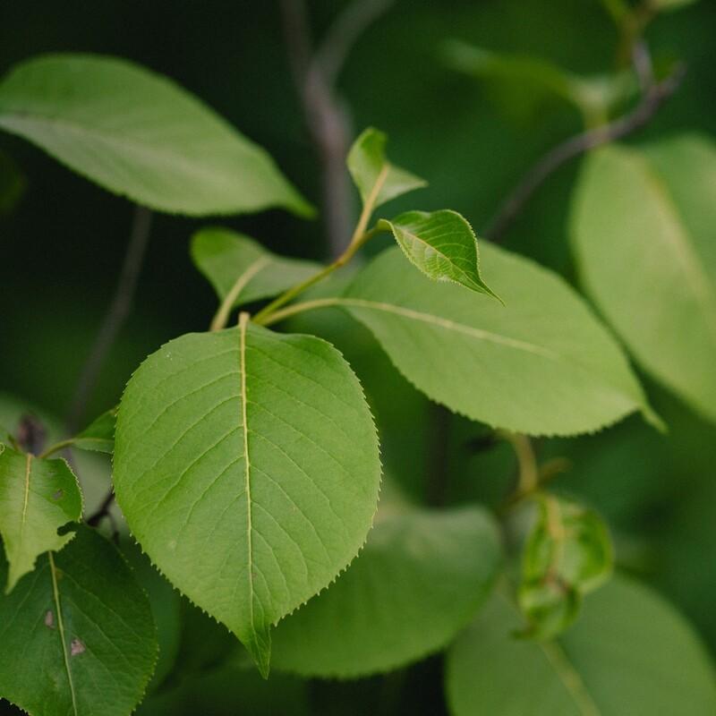 Viburnum lentago - Nannyberry