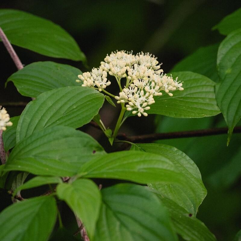 Cornus alternifolia - Alternate-leaved Dogwood