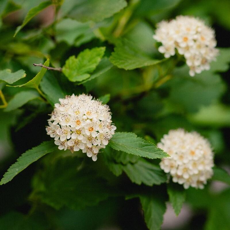 Physocarpus opulifolius - Ninebark