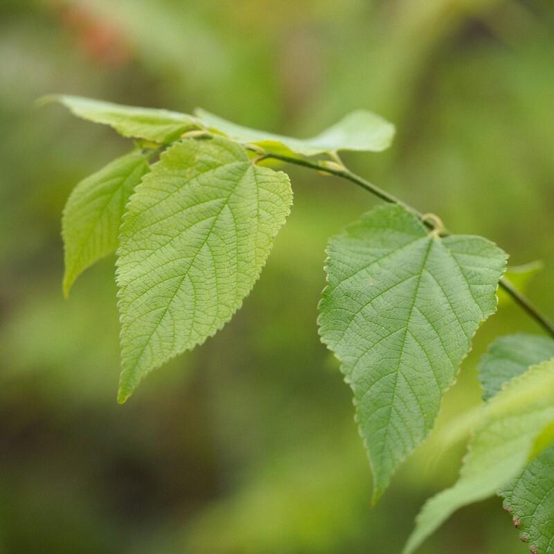 Celtis occidentalis - Hackberry