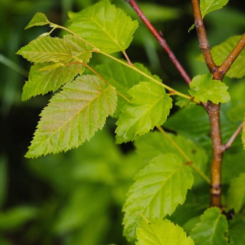 Betula lenta - Cherry Birch