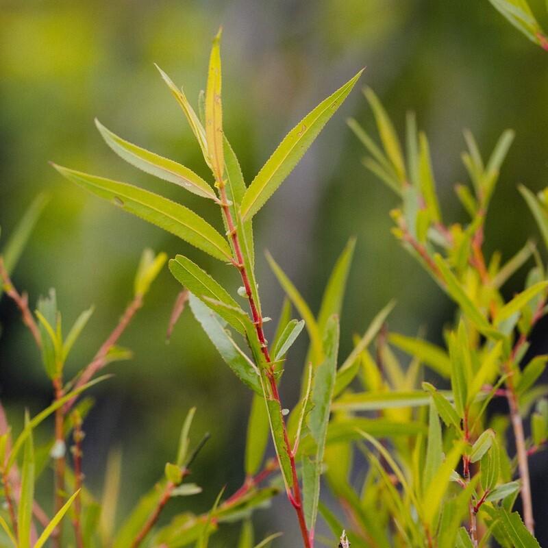 Salix nigra - Black Willow