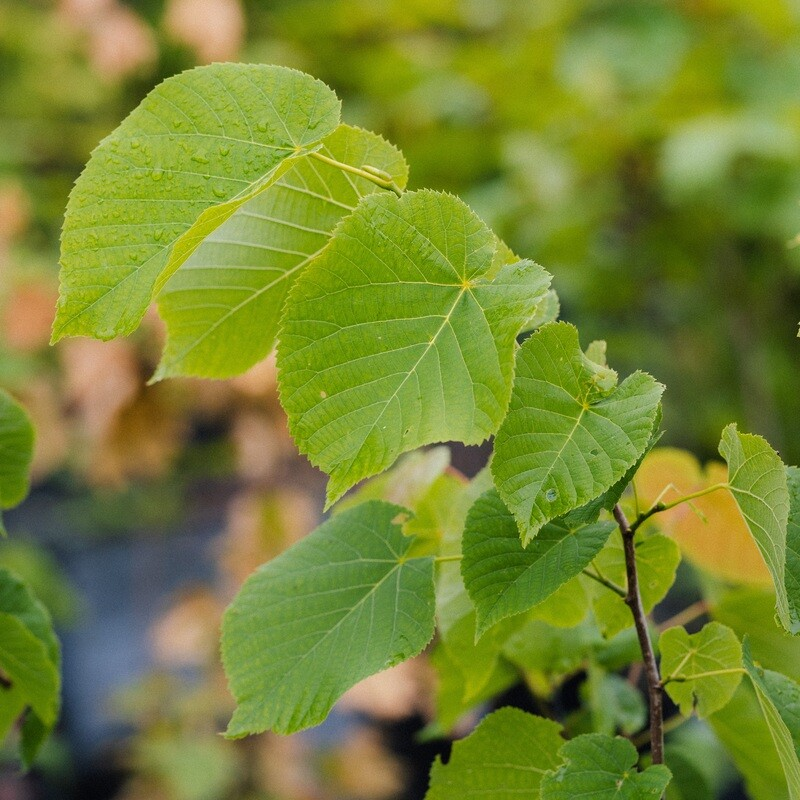 Tilia americana - Basswood