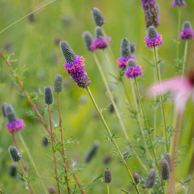 Dalea purpurea - Purple Prairie Clover