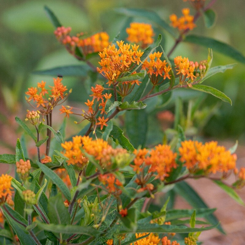 Asclepias tuberosa - Butterflyweed
