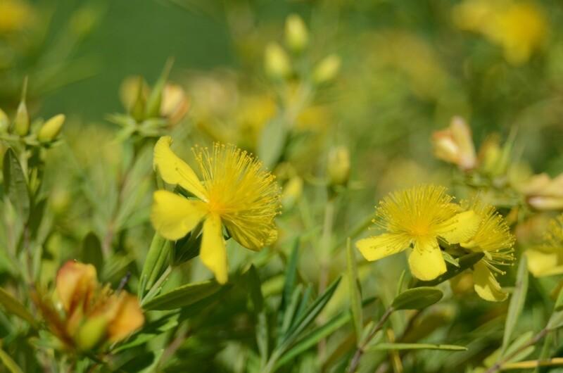 Hypericum kalmianum - Kalm's St. Johns Wort