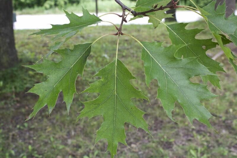 Quercus rubra - Red Oak
