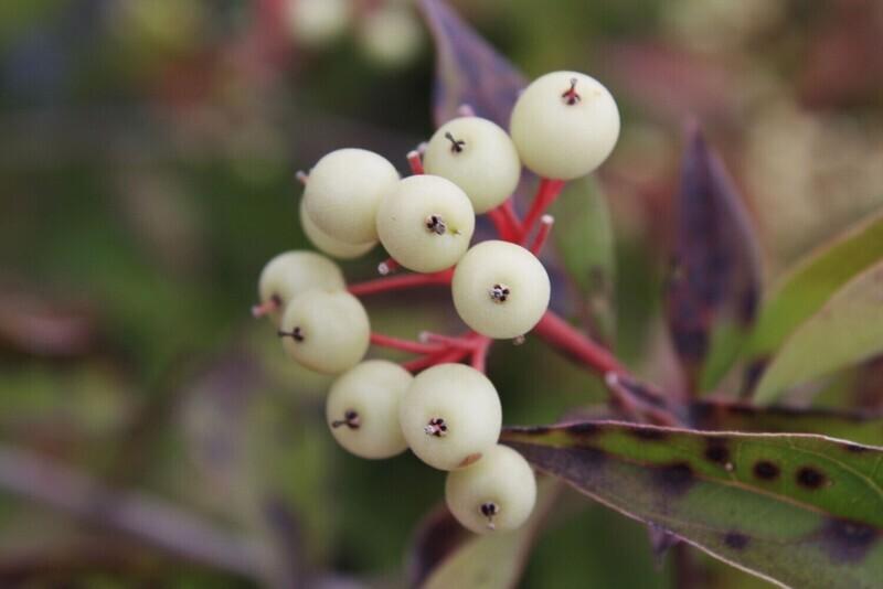 Cornus racemosa - Grey Dogwood
