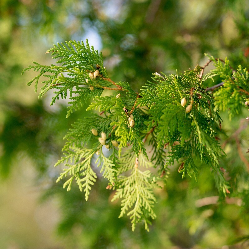 Thuja occidentalis - White Cedar