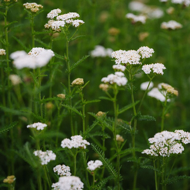 Achillea millefolium - White Yarrow